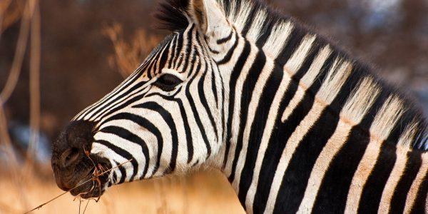 zuid-afrikaanse zebra