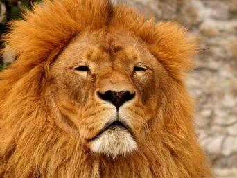 Relaxende Leeuw