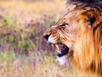 Brullende leeuw in het Krugerpark