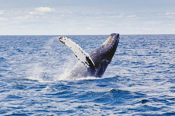Bultrug walvis slaat de bres ~ Tuinroute, Zuid-Afrika