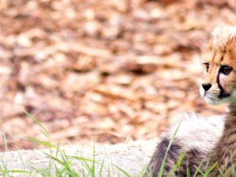 Cheetah Centrum Ann Van Dyck RSA
