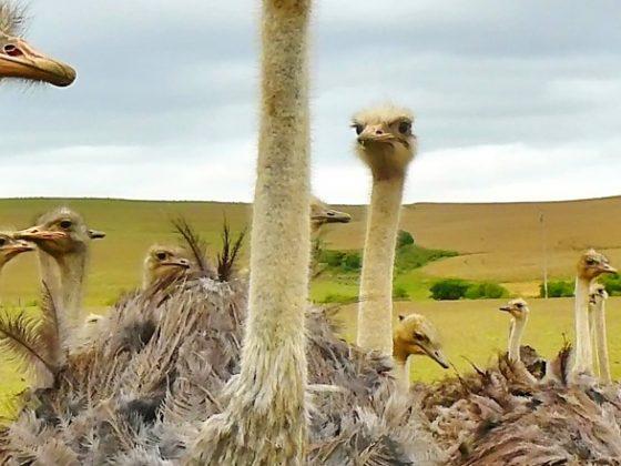 Tientallen struisvogels op de boerderij