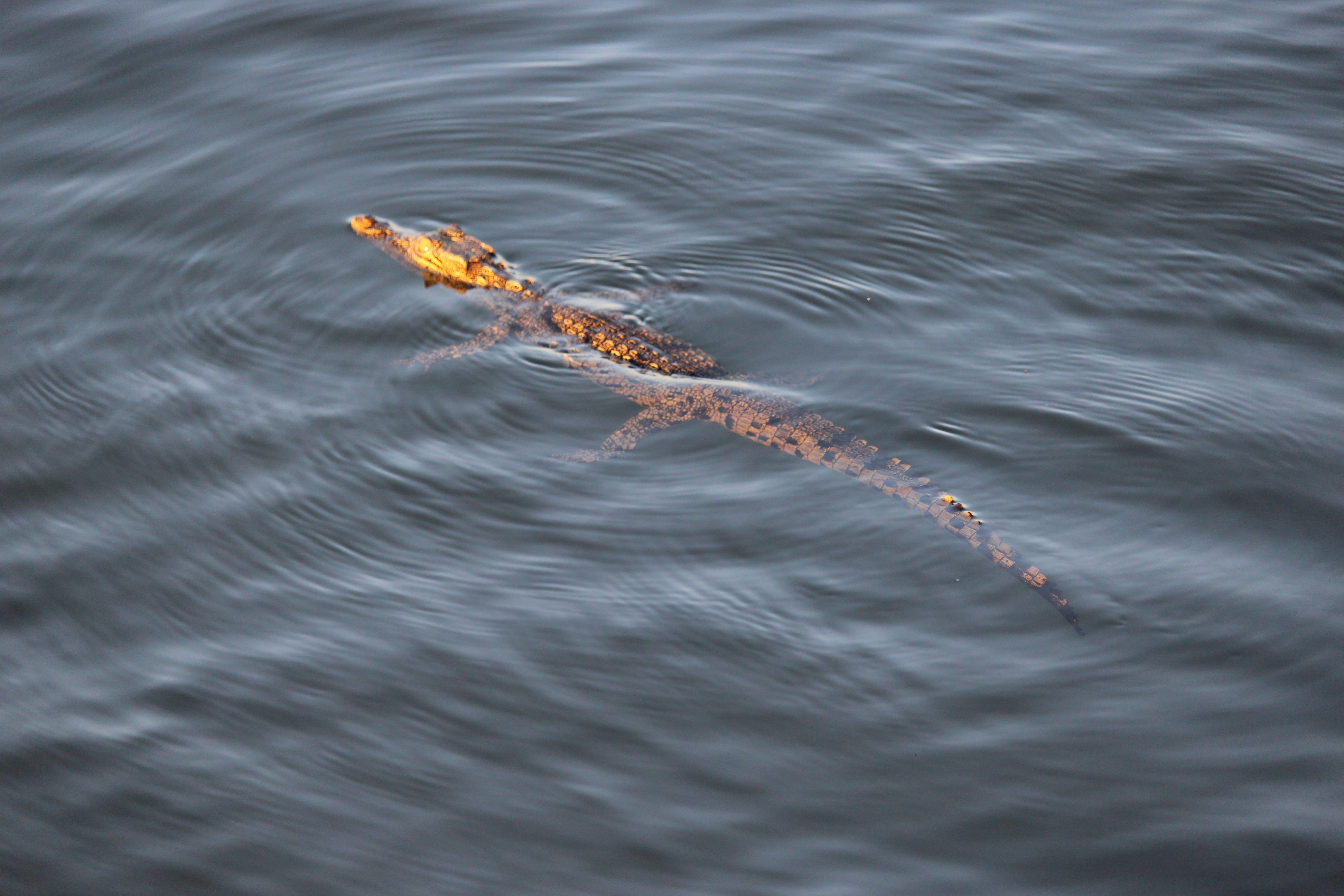 krokodil zwemt