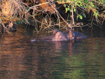 nijlpaard drijft boven water