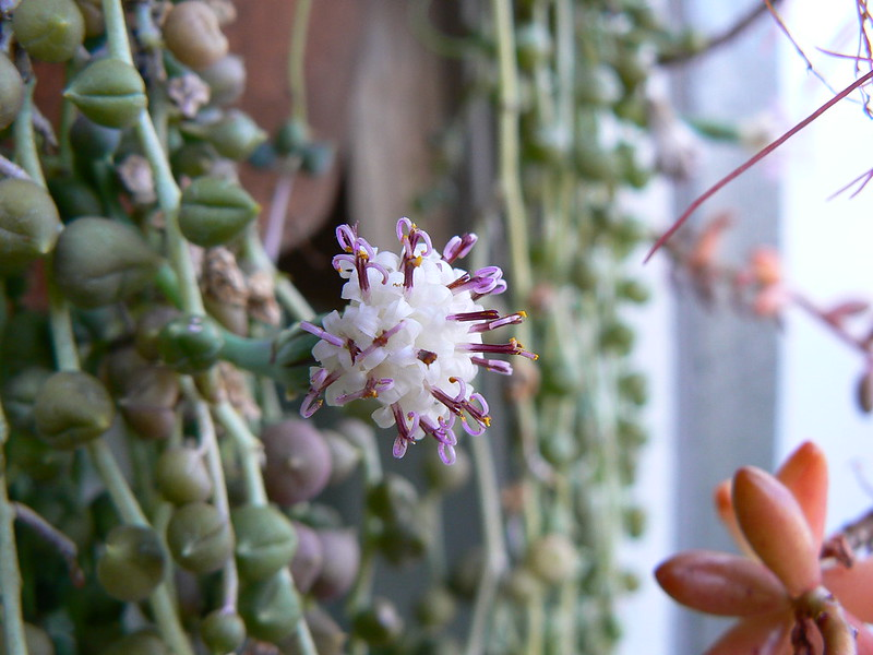 De bloeiende bloem van het erwtenplantje door Nick Ares https://flickr.com/photos/aresauburnphotos/2344626820/in/photolist-UZ3CJ1-6PtwUK-4esUzX-4zbPSm-x9bCUs-fQpSnw-7oFbbh-HfwaHk-GQhuxS-Hfwcga-w3TxJy-HfwdnZ-7oFbdW-w3T7Kq-5BmbPs-7oFbgC-HfweAv-Ym69og-6e7Nu9-R7CSUf-RszBfh-GQhs7u-GkcafR-Gkc9st-GQhtfS-GQhqpS-GQhsLf-GQhrB1-GQhtLS-HfwfuV-Gkc8qD-Gkc82c-GQhqKm-YgWM23-dVhaoK-RRaBue-6e7LRf-WvJFhD-6e7MoG-6e3CdV-7oBiVi-6LDesV-TL4bLn-SqtrGi-SefV88-QpB9Bw-SqtA9P-UZ3wVC-TxvZ4j-RWCudW/