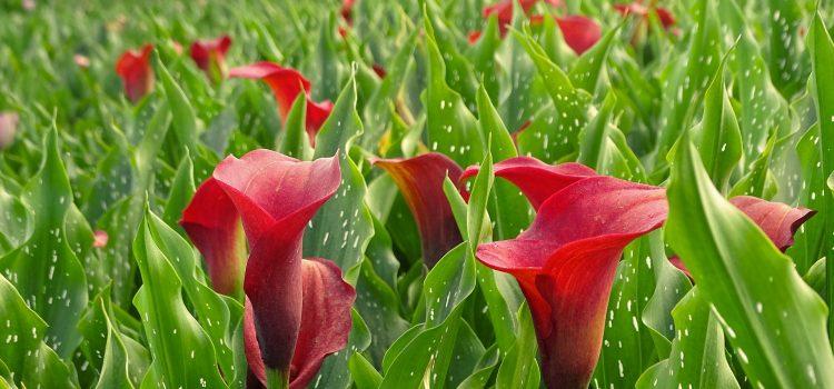 Veld met Rode Calla Lelies, Zuid-Afrika