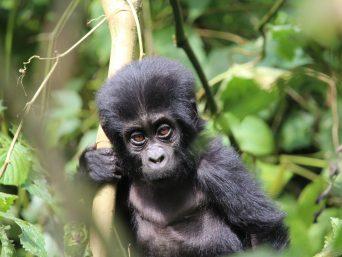 gorilla bwindi